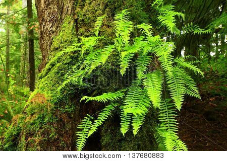 a picture of an exterior Pacific Northwest old growth Vine maple tree with sword ferns