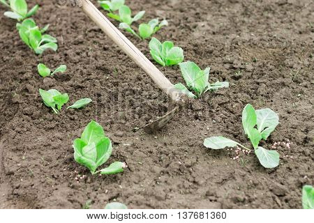 Woman working with hoe in the vegetable garden. Planting cabbage seedling. Cabbage growing on fertile soil with fertilizer