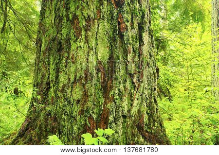 a picture of an exterior Pacific Northwest old growth Douglas fir tree with moss
