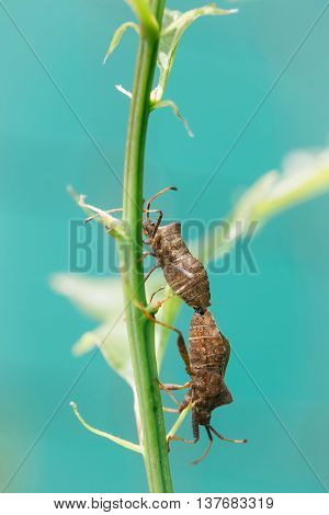 Pair of bugs mating during nuptial phase on green plant stem on blue sky background
