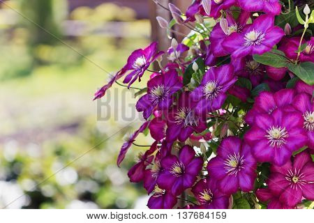 Beautiful purple clematis flowers in a sunny garden. Selective focus