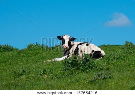 Young cow reclining on a green meadow.
