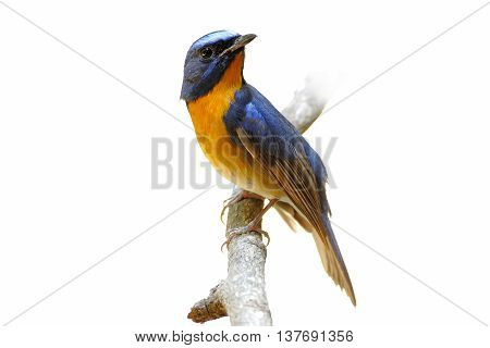 Hill blue flycatcher Cyornis banyumas Male Birds of Thailand white background