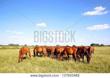 Purebred chestnut foals and mares eating green grass on the meadow summertime rural scene