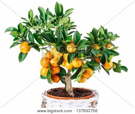 mandarine fruit tree isolated on white background