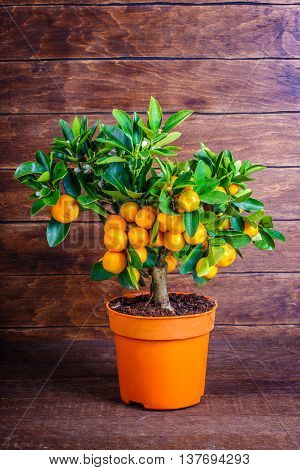 Mandarine Tree On A Wooden