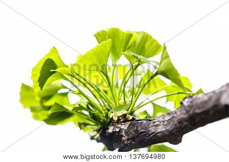 leaf  Ginkgo biloba isolated on white background