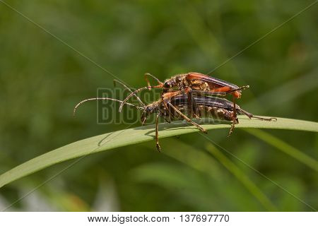 Colourful beetles are engaged in procreation on a blade of grass.