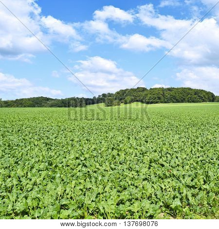 Beet field in the sun with blue sky and fluffy clouds. Farmland and forest in the background with copy space. Agriculture summer scene.