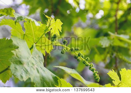 young immature grapes grape branch summer, young,