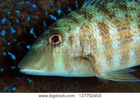 Close-up of a Small-tooth Emperor (Lethrinus Microdon). Komodo Indonesia