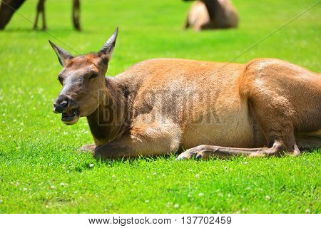 An Elk Lying In The Green Grass