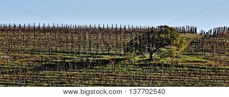 Landscape with a lonely tree in a wine field