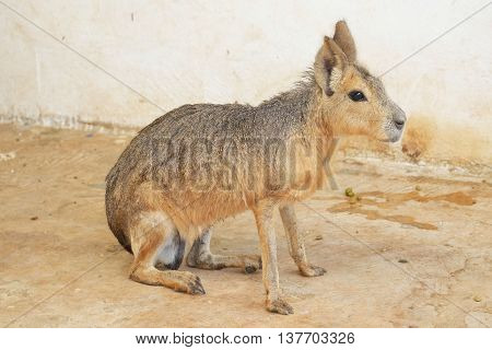 Patagonian Mara on the ground in farm