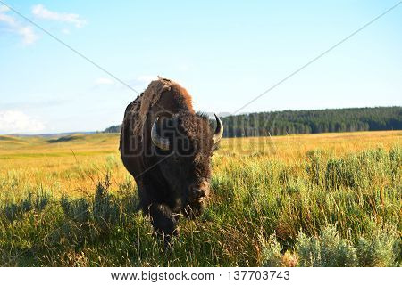 Bison Standing In Valley At Yellowstone National Park