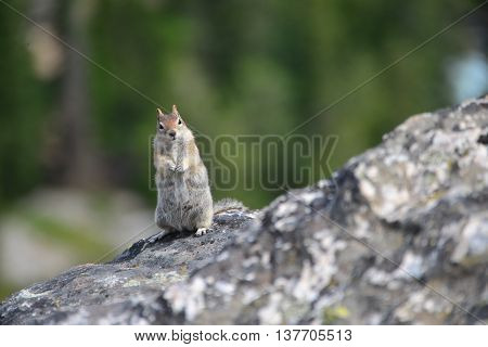 Golden-mantled Ground Squirrel Is A Type Of Squirrel Found In Mountainous Areas North America
