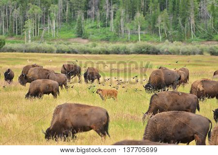 Bison Calf In Field At Grand Teton National Park