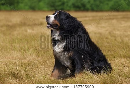 Bernese Mountain Dog (Berner Sennenhund) sitting on the green field