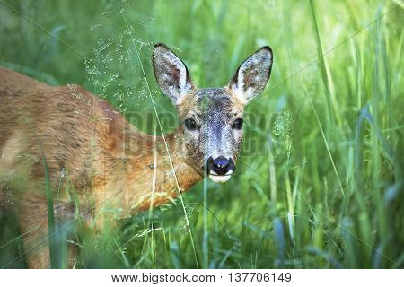 Portrait of wild roe deer hiding in the green grass in the forest