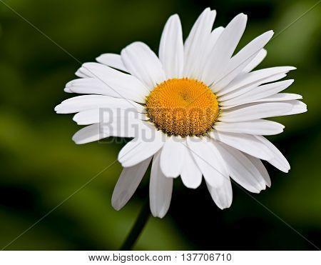 Chamomile, garden chamomile flower, white flower, flora.