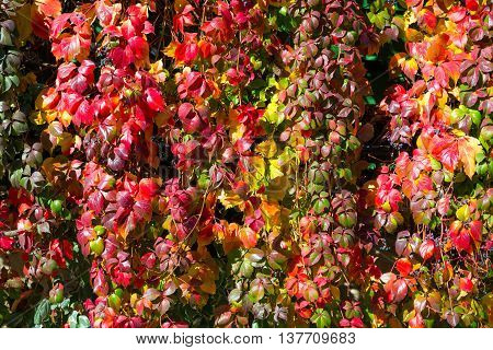 Bright luminous nature Background made off Hedge Autumn Colors Leaves and curly branches