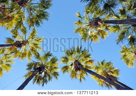 Looking up at a canopy of tall Palm trees, Queensland, Australia