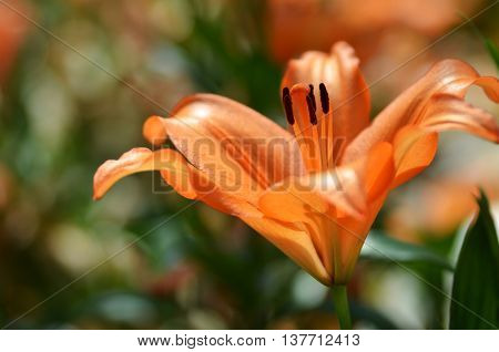 Beautiful Lily Growing In Garden