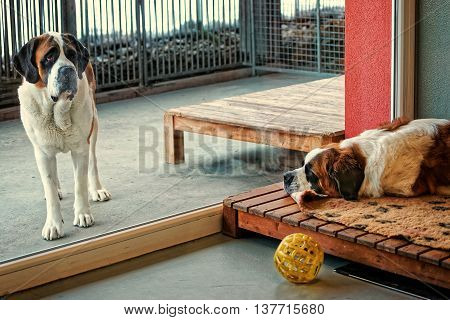 Saint Bernard dogs separated by the window glass