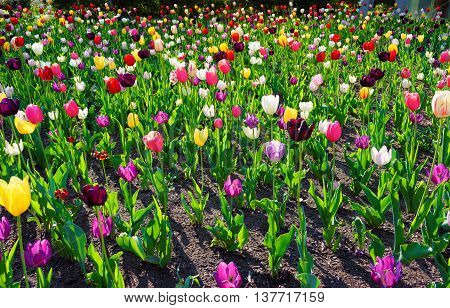 Color Flowered Bed With Tulips In Philadelphia City Center