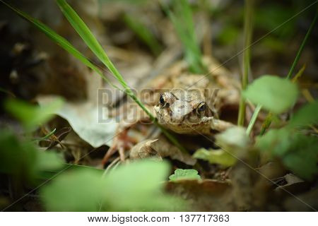 Wood frog hiding under the leaf in the forest