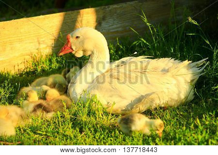 young goslings with their goose on the grass in the village