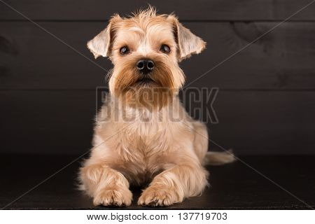 Closeup Yorkshire Terrier Dog Standing On Black Mirror Background