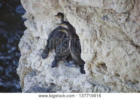 Black cormorant chicks on a white rock