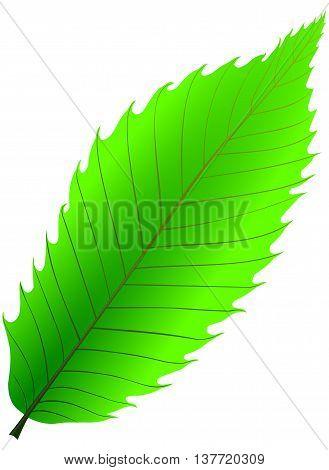 chestnut , illustration isolated chestnut leaf ,