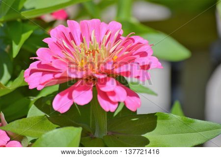 A Zinnia flower blooming in the garden