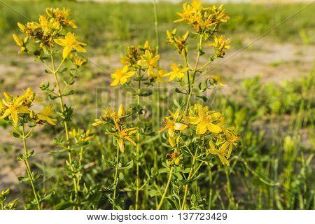 Yellow Flowering Plant Hypericum Perforatum.