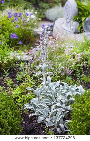 Garden plant Stachys Byzantine (Lat. Stachis bizantina). In the flowerbed of a garden plot