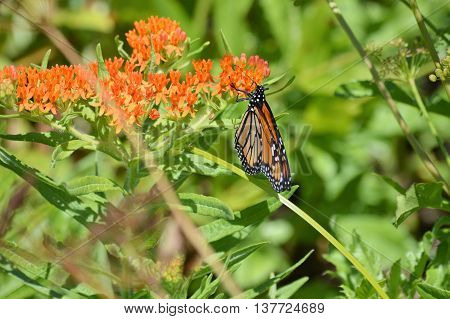 A monarch butterfly on milkweed in the garden