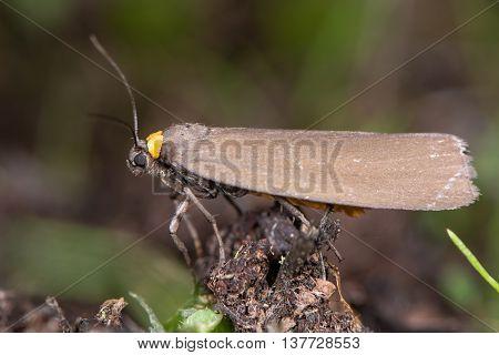 Red-necked footman (Atolmis rubricollis) profile. Locally distributed woodland species in the family Erebidae family Arctiinae