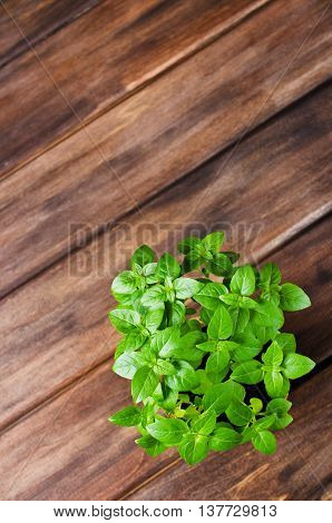 Green basil sprouts in a pot on a wooden background. Selective focus.