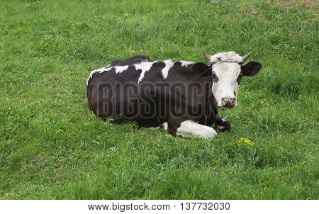 Funny cow on a green summer meadow.
