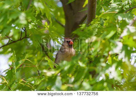 Female Northern Cardinal bird (Cardinalis cardinalis) hiding in lush greenery of maple tree. Selective focus.