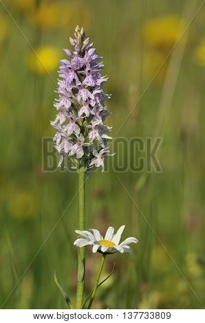Common Spotted Orchid - Dactylorhiza fushsii With Ox-eyed Daisy