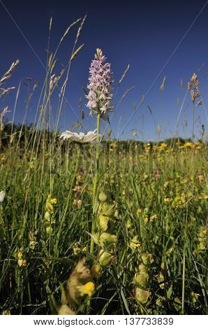 Common Spotted Orchid - Dactylorhiza fushsii Wild flower meadow