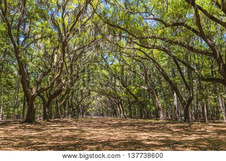 Canopy of old live oak trees draped in spanish moss at historic Wormsloe Plantation in Savannah Georgia USA