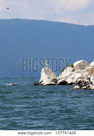 picture of a Dalmatian PelicanPelecanus crispus resting on a rock