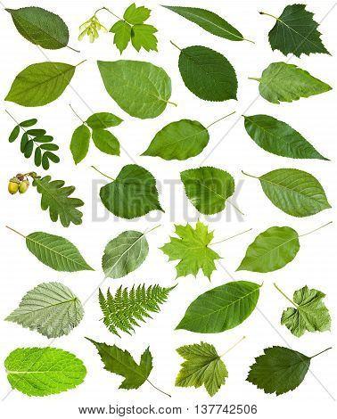 Many Fresh Green Leaves Isolated On White
