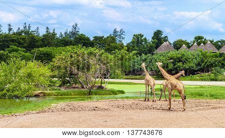 Group of giraffes in a Safari World park in Bangkok Thailand