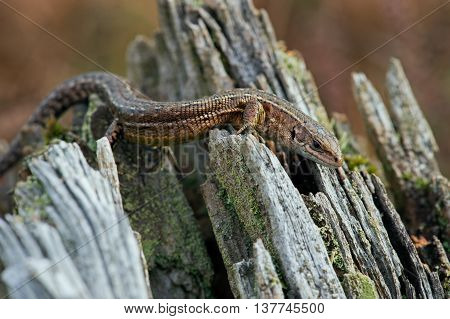 Viviparous Lizard (Zootoca Vivipara) in crags of a tree root