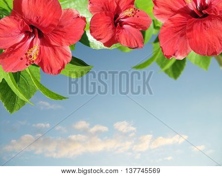 Beautiful floral background with hibiscus flowers isolated on a sky background